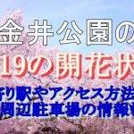小金井公園の桜2019の開花状況!最寄り駅やアクセス方法と周辺駐車場情報も